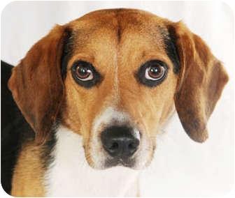 Beagle Dog for adoption in Chicago, Illinois - Bailey