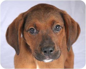 Boxer/Shepherd (Unknown Type) Mix Puppy for adoption in Chicago, Illinois - Solomon