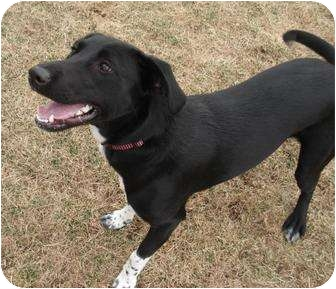 Labrador Retriever/Australian Cattle Dog Mix Dog for adoption in Meridian, Idaho - Bella