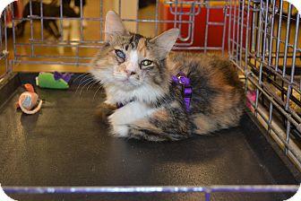 Domestic Mediumhair Kitten for adoption in Davison, Michigan - Cecellia