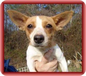 Rat Terrier Mix Dog for adoption in Staunton, Virginia - Tiny
