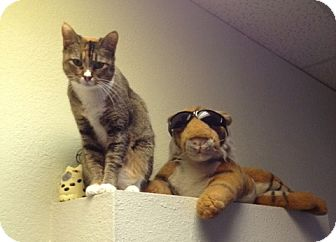 Domestic Shorthair Cat for adoption in Fountain Hills, Arizona - PRU