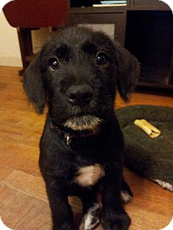 Labrador Retriever Mix Puppy for adoption in Stafford Springs, Connecticut - Remington