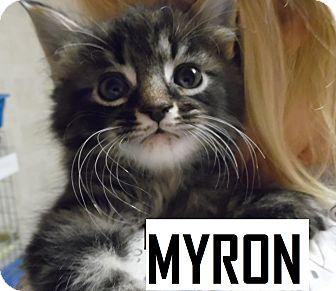 Domestic Shorthair Kitten for adoption in Franklin, North Carolina - MYRON