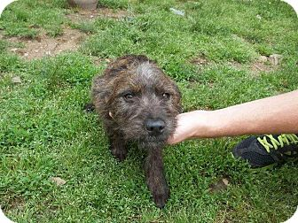 Terrier (Unknown Type, Small) Mix Dog for adoption in East Hartford, Connecticut - Rascal in CT
