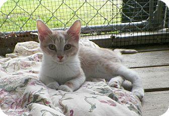 Domestic Shorthair Kitten for adoption in Dover, Ohio - Sprite