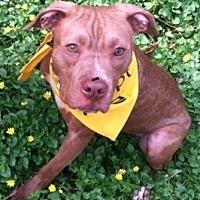 Adopt A Pet :: Clover - Newtown, PA