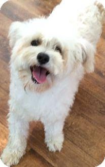 Maltese/Poodle (Miniature) Mix Dog for adoption in Auburn, California - Dolly