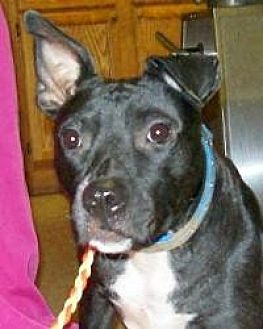 American Pit Bull Terrier Mix Dog for adoption in Okmulgee, Oklahoma - Miracle