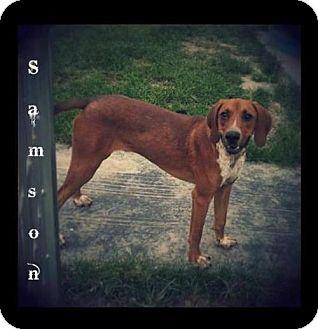 Coonhound Mix Dog for adoption in Greenville, Kentucky - Samson