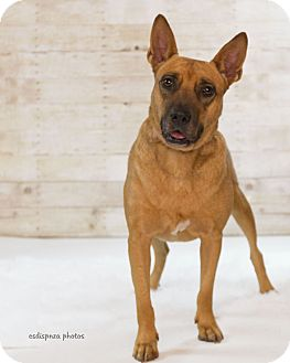 Shepherd (Unknown Type) Mix Dog for adoption in Baton Rouge, Louisiana - Belle