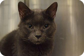 Domestic Shorthair Cat for adoption in Washington, Pennsylvania - Slate