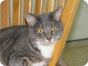 Domestic Shorthair Cat for adoption in Wakefield, Massachusetts - Holly
