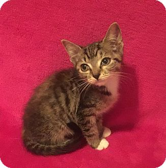 American Shorthair Kitten for adoption in Nolensville, Tennessee - Lola