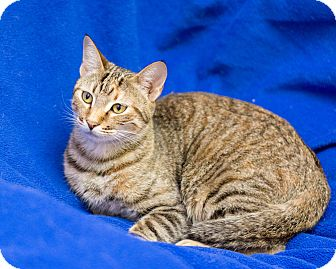 Domestic Shorthair Cat for adoption in Fountain Hills, Arizona - Star