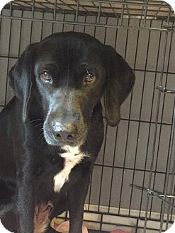Labrador Retriever/Hound (Unknown Type) Mix Dog for adoption in waterbury, Connecticut - Birdie