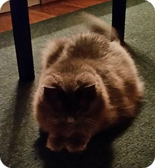 Domestic Mediumhair Cat for adoption in Columbia, Maryland - Little Sweetie_Courtesy Post