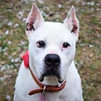 Adopt A Pet :: Sheba - Pontiac, MI