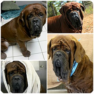 Mastiff Dog for adoption in Forked River, New Jersey - Josh