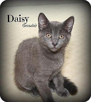 Domestic Shorthair Kitten for adoption in Glen Mills, Pennsylvania - Daisy