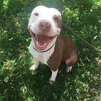 American Pit Bull Terrier Mix Dog for adoption in Chicago, Illinois - Lily