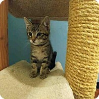 Domestic Mediumhair Kitten for adoption in Santa Clara, California - ALBERT