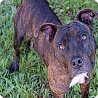 Adopt A Pet :: BRUTUS - West Palm Beach, FL