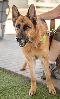 German Shepherd Dog Dog for adoption in Phoenix, Arizona - Ada