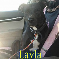 Pit Bull Terrier Mix Dog for adoption in Pensacola, Florida - Layla 2