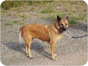 Belgian Malinois/Australian Shepherd Mix Dog for adoption in levittown, New York - Dixie