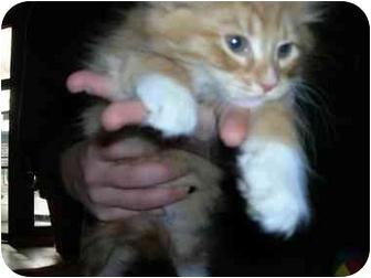 Domestic Mediumhair Kitten for adoption in Wentzville, Missouri - POP