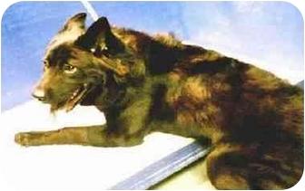 Belgian Shepherd Mix Dog for adoption in New York, New York - Rocko