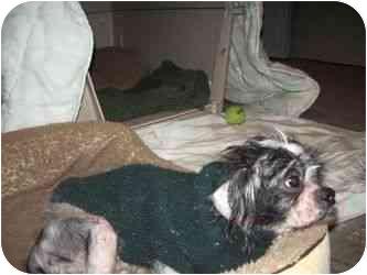 Shih Tzu/Lhasa Apso Mix Dog for adoption in Long Beach, New York - Chino
