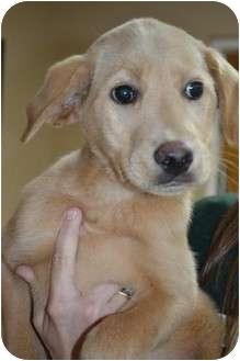Golden Retriever/Labrador Retriever Mix Puppy for adoption in Salem, New Hampshire - Jinglebella