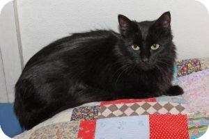 Domestic Longhair Cat for adoption in Eagan, Minnesota - Lorna