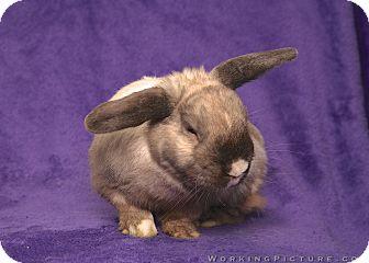 Dwarf Mix for adoption in Lewisville, Texas - Sir Humphrey Speedington