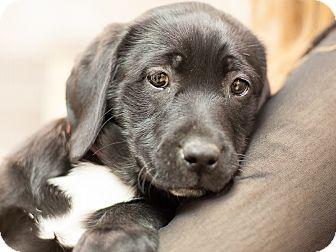 Labrador Retriever/Border Collie Mix Puppy for adoption in Dallas, Texas - Meryl