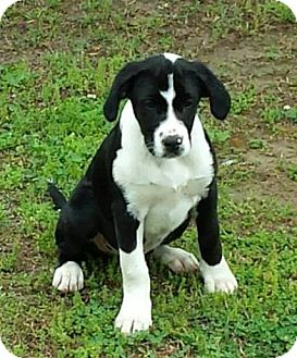 Labrador Retriever/Great Dane Mix Puppy for adoption in Huntsville, Alabama - Rex