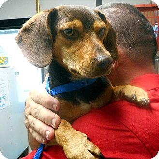 Beagle/Dachshund Mix Dog for adoption in Greencastle, North Carolina - Eric