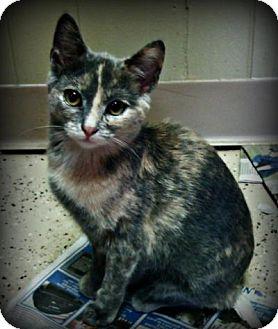 Domestic Shorthair Kitten for adoption in Sauk Rapids, Minnesota - Nikki