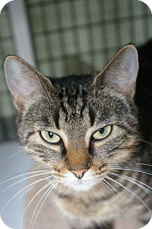 Domestic Shorthair Cat for adoption in Brooksville, Florida - Mattie