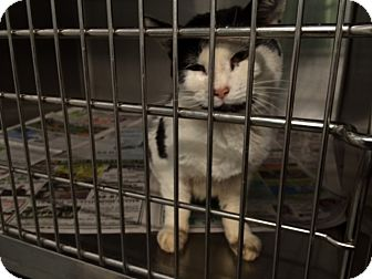 Domestic Shorthair Cat for adoption in Wythe County, Virginia - Robin