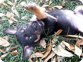 Labrador Retriever Mix Puppy for adoption in Jacksonville, Florida - Aztec