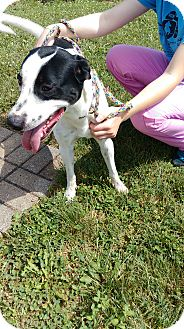 Pointer Mix Dog for adoption in Bellefontaine, Ohio - Rambbler