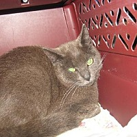 Russian Blue Cat for adoption in Coos Bay, Oregon - Tyler