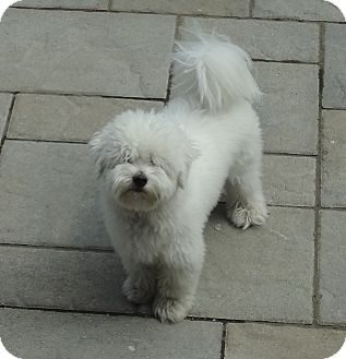Coton de Tulear Dog for adoption in Rigaud, Quebec - Mozart