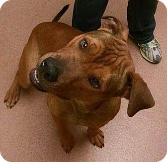 Hound (Unknown Type) Mix Dog for adoption in Columbus, Georgia - Moose 4592