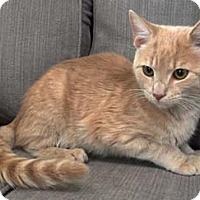 Adopt A Pet :: Laz - Merrifield, VA