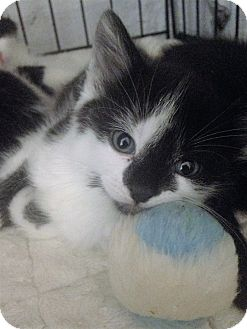 Domestic Shorthair Kitten for adoption in River Edge, New Jersey - Sorcha