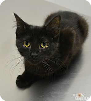 Domestic Shorthair Kitten for adoption in Springfield, Illinois - Cook